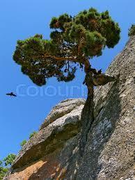 Arbre résilient sur un rocher
